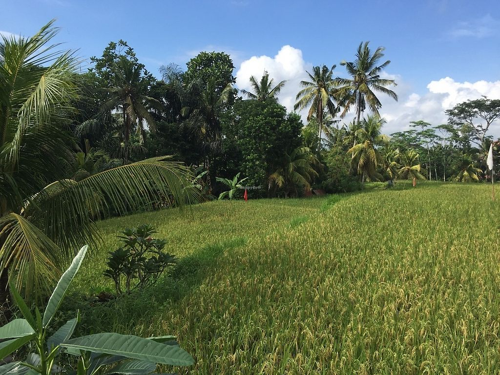 """Photo of Ubud Sari Health Resort  by <a href=""""/members/profile/Eefie"""">Eefie</a> <br/>View from the pool: rice field <br/> May 31, 2017  - <a href='/contact/abuse/image/59/264395'>Report</a>"""