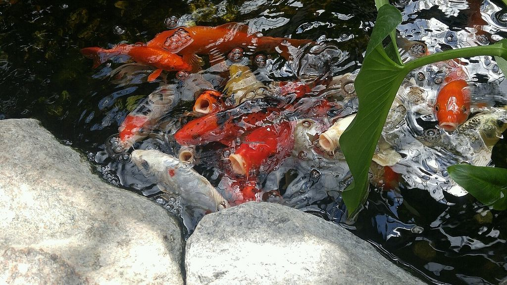 "Photo of Aquatopia Water Garden Conservatory  by <a href=""/members/profile/LauraJones89"">LauraJones89</a> <br/>Koi- ask for fish food if you want to feed them <br/> September 12, 2017  - <a href='/contact/abuse/image/100728/303790'>Report</a>"