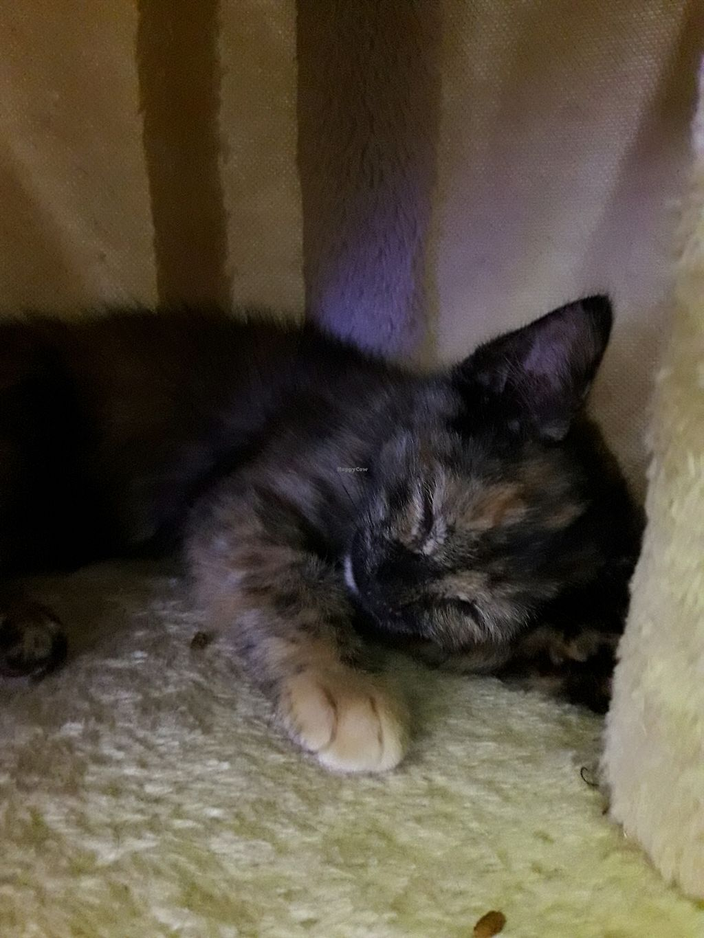 "Photo of Purple Cat Cafe  by <a href=""/members/profile/Arta"">Arta</a> <br/>one of the kittens napping in his play tree <br/> February 1, 2018  - <a href='/contact/abuse/image/107773/353681'>Report</a>"
