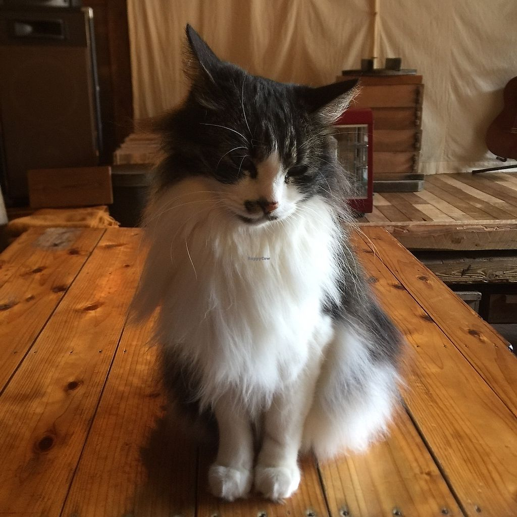 """Photo of Satta Yard  by <a href=""""/members/profile/giruja"""">giruja</a> <br/>Lovely cat~ <br/> March 24, 2018  - <a href='/contact/abuse/image/108761/375304'>Report</a>"""