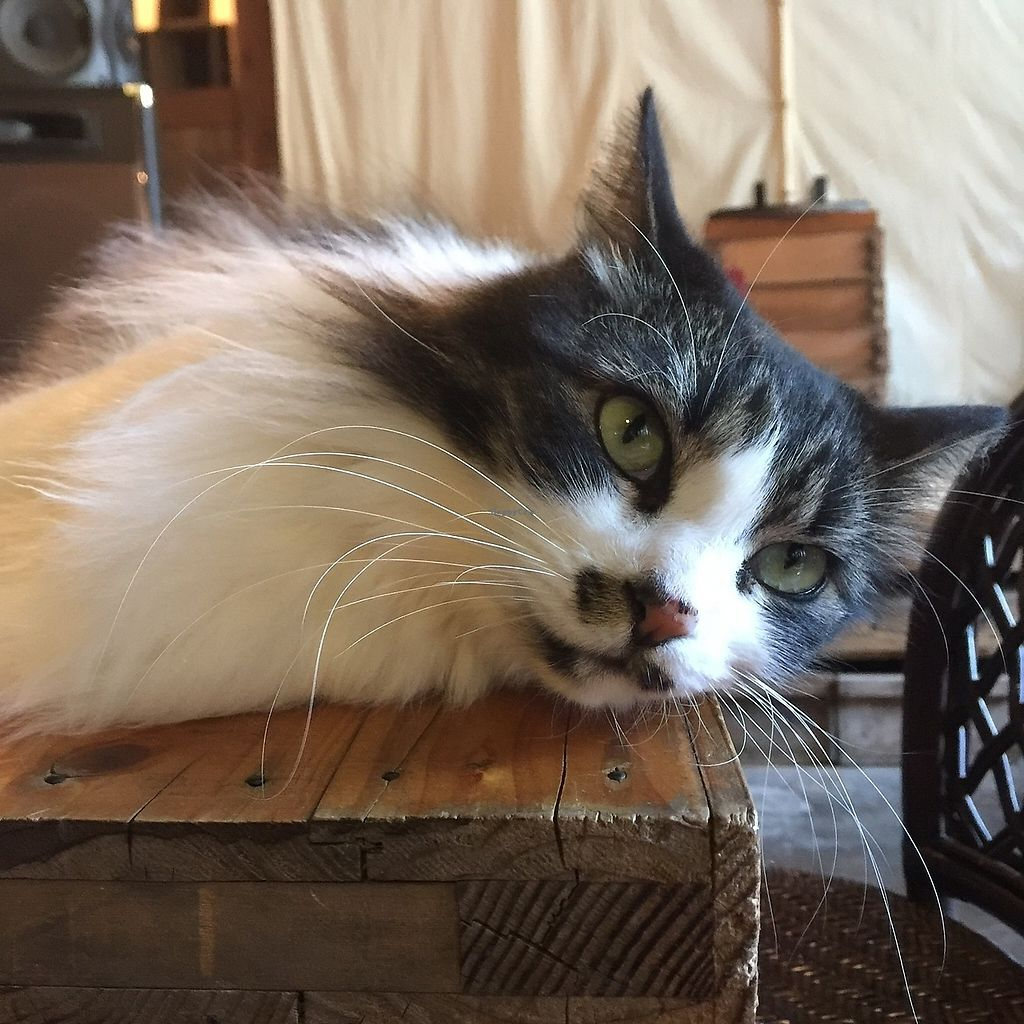 """Photo of Satta Yard  by <a href=""""/members/profile/giruja"""">giruja</a> <br/>Lovely cat~ <br/> March 24, 2018  - <a href='/contact/abuse/image/108761/375305'>Report</a>"""