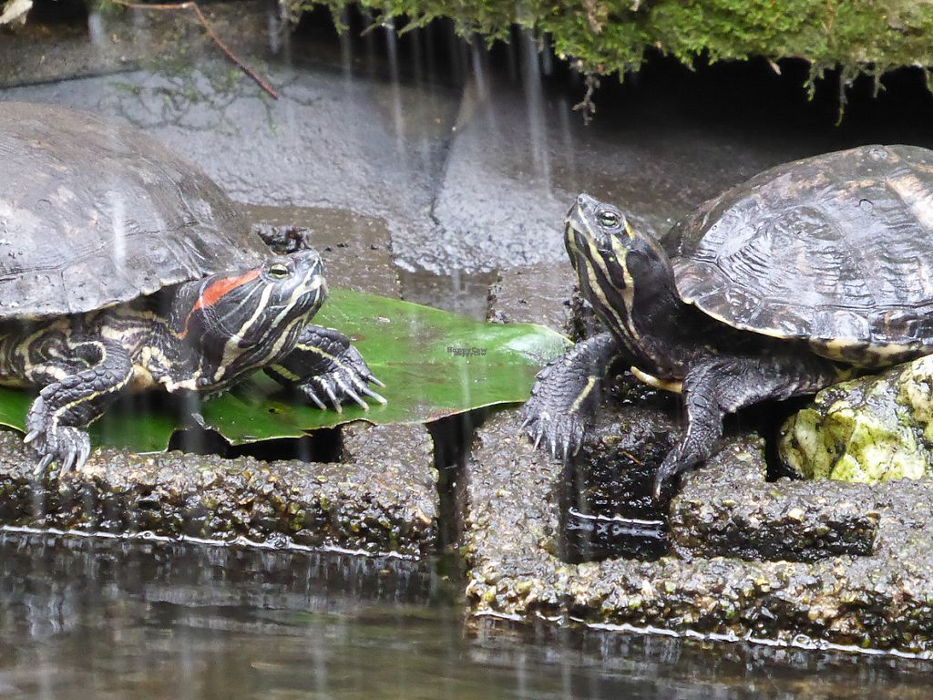 """Photo of Het Paradijs  by <a href=""""/members/profile/v_mdj"""">v_mdj</a> <br/>Tortoises in the water <br/> March 4, 2017  - <a href='/contact/abuse/image/19680/232613'>Report</a>"""