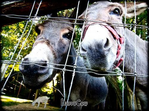 """Photo of Someday Farm Vegan Bed and Breakfast  by <a href=""""/members/profile/Brent%20Segura-Bowers"""">Brent Segura-Bowers</a> <br/>The sweetest donkeys ever! <br/> August 22, 2012  - <a href='/contact/abuse/image/30230/36640'>Report</a>"""