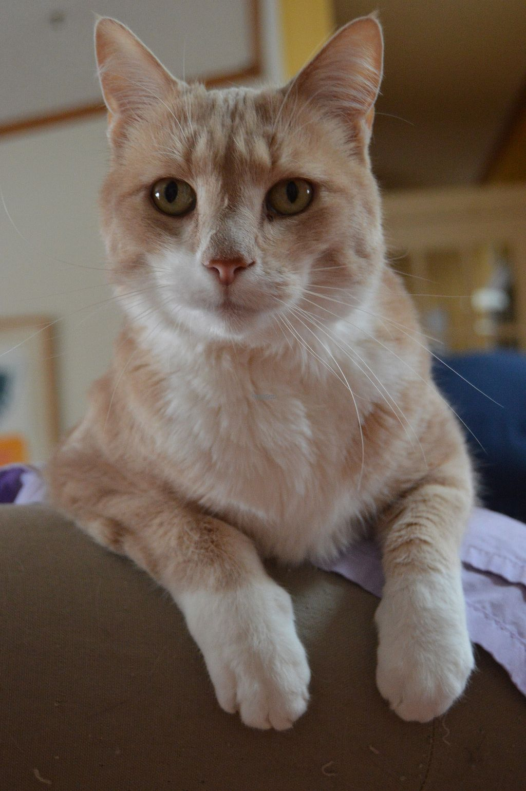 """Photo of The Ginger Cat B and B  by <a href=""""/members/profile/Vegan%20GiGi"""">Vegan GiGi</a> <br/>Gita's sweet ginger cat <br/> September 3, 2016  - <a href='/contact/abuse/image/30660/173153'>Report</a>"""