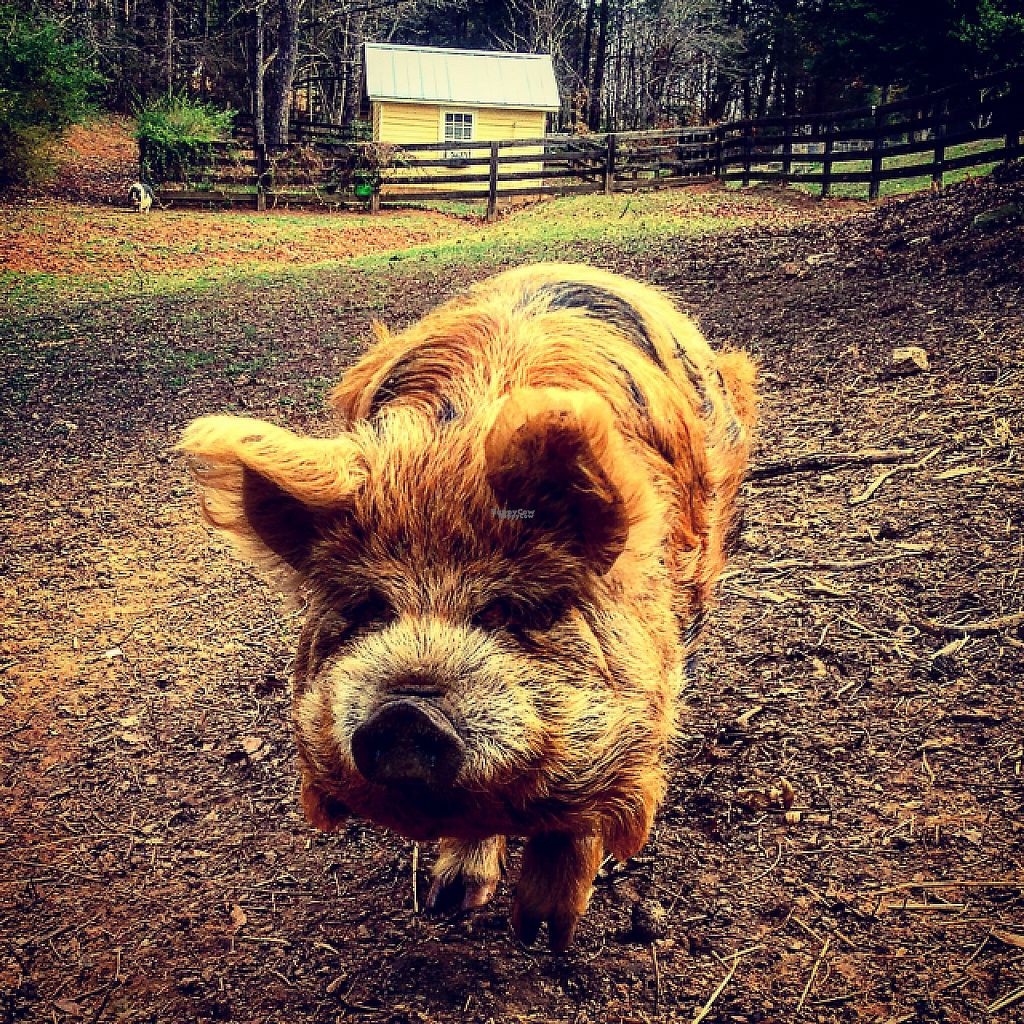 "Photo of The White Pig Bed and Breakfast  by <a href=""/members/profile/clarebear9"">clarebear9</a> <br/>piggy <br/> February 26, 2017  - <a href='/contact/abuse/image/30673/230873'>Report</a>"
