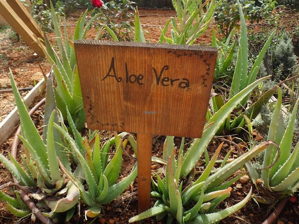 """Photo of Casita Verde  by <a href=""""/members/profile/Monamour"""">Monamour</a> <br/>Aloe Vera plantation  <br/> January 26, 2017  - <a href='/contact/abuse/image/33191/217004'>Report</a>"""