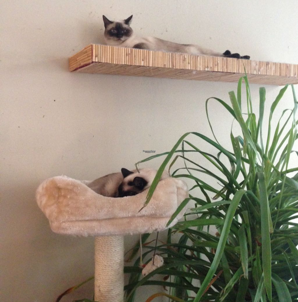 """Photo of Cafe Katzentempel  by <a href=""""/members/profile/larajb"""">larajb</a> <br/>some very relaxed kitties  <br/> August 2, 2016  - <a href='/contact/abuse/image/38530/164630'>Report</a>"""