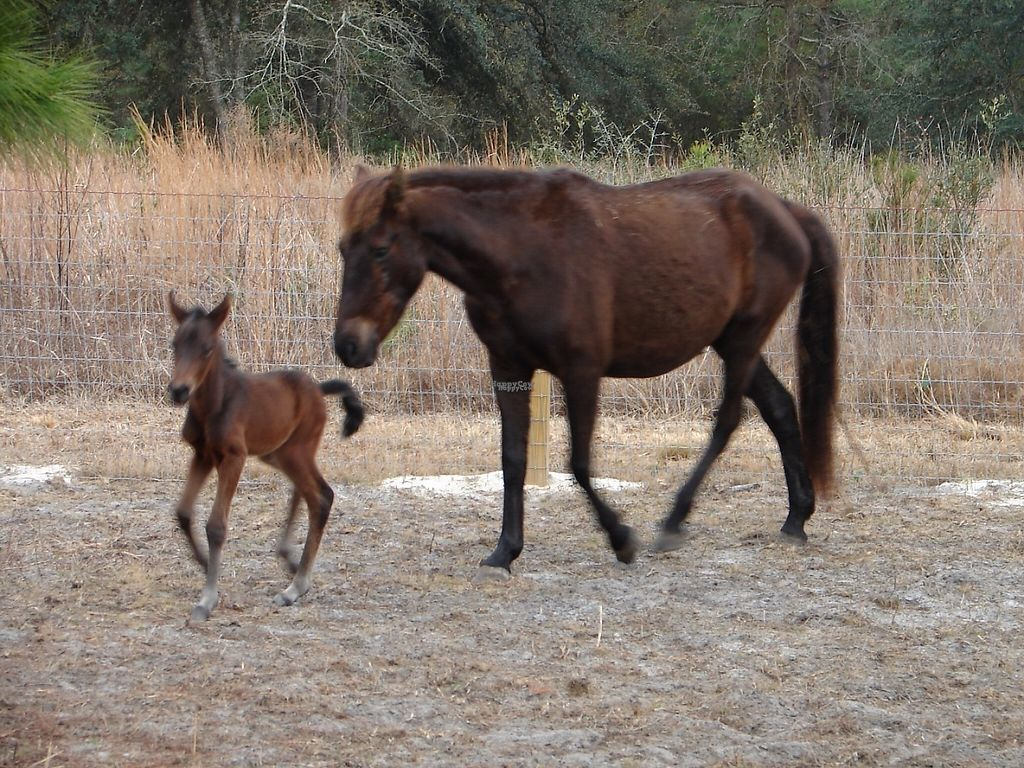 """Photo of CJ Acres Animal Rescue Farm  by <a href=""""/members/profile/EdwardElliott"""">EdwardElliott</a> <br/>Miracles happen daily at the sanctuary, including the birth of a wild Mustang (Miakoda) whose mother was saved from slaughter <br/> November 16, 2016  - <a href='/contact/abuse/image/44536/191023'>Report</a>"""