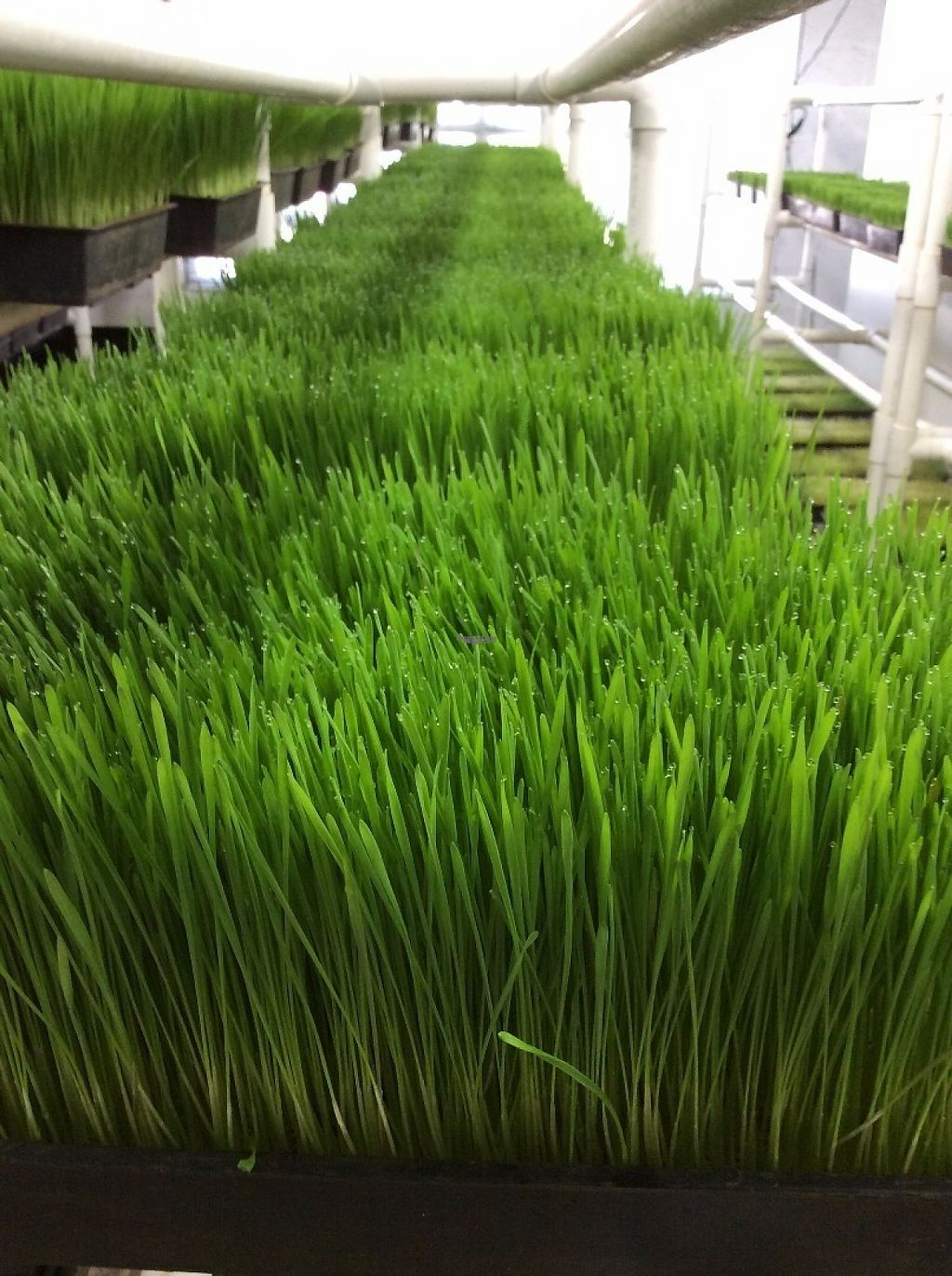 """Photo of Got Sprouts  by <a href=""""/members/profile/hellogotsprouts"""">hellogotsprouts</a> <br/>Organic wheatgrass is grown right here at Got Sprouts? in Riviera Beach <br/> January 26, 2017  - <a href='/contact/abuse/image/45032/217281'>Report</a>"""