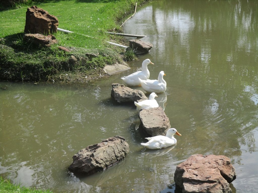 """Photo of Govinda - Midrand  by <a href=""""/members/profile/Wolfmoon"""">Wolfmoon</a> <br/>Ducks bathing at the sun <br/> March 13, 2016  - <a href='/contact/abuse/image/52209/139840'>Report</a>"""