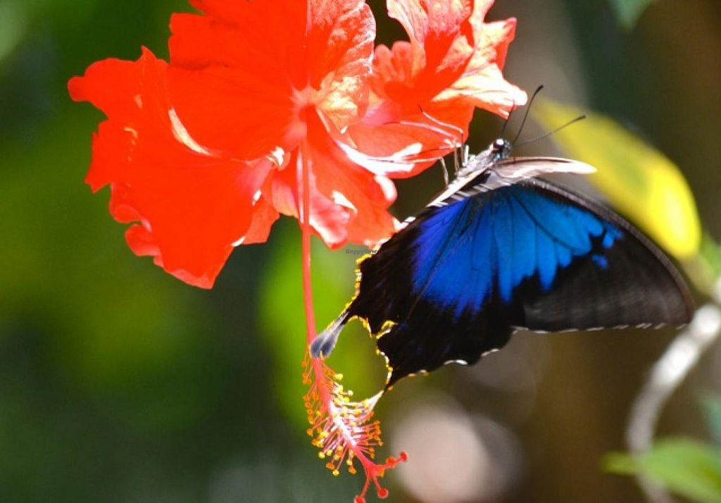 Photo of Ulysses Garden Cafe  by UlyssesGardenCafe <br/>The Ulysses butterfly visits our gardens daily <br/> May 24, 2015  - <a href='/contact/abuse/image/58753/103295'>Report</a>