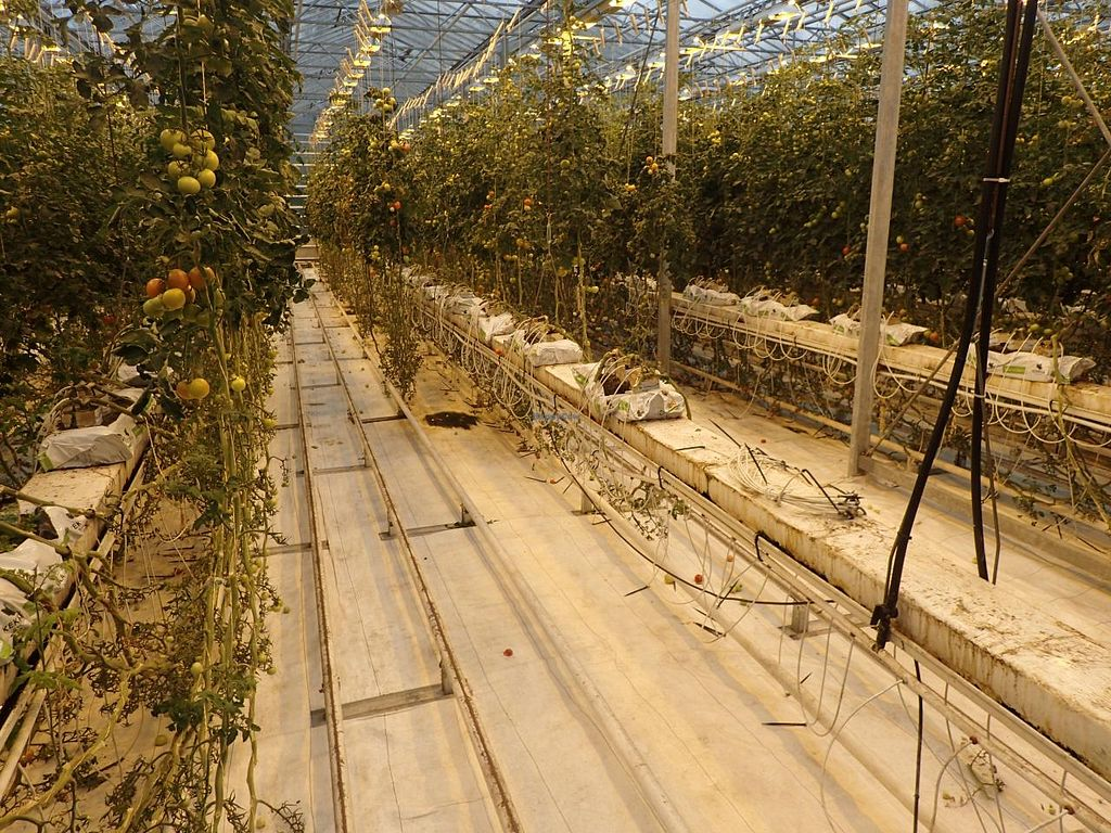 """Photo of Fridheimar  by <a href=""""/members/profile/Solaron"""">Solaron</a> <br/>Row of tomato plants viewed from one of the dinner tables <br/> June 14, 2015  - <a href='/contact/abuse/image/59378/105926'>Report</a>"""