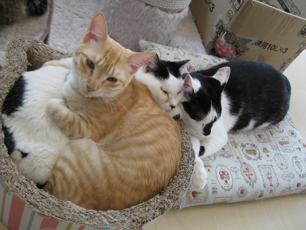 "Photo of CLOSED: Gourmet Neko Cafe  by <a href=""/members/profile/caroblume"">caroblume</a> <br/>cats cuddling at the café <br/> March 27, 2016  - <a href='/contact/abuse/image/59840/141464'>Report</a>"