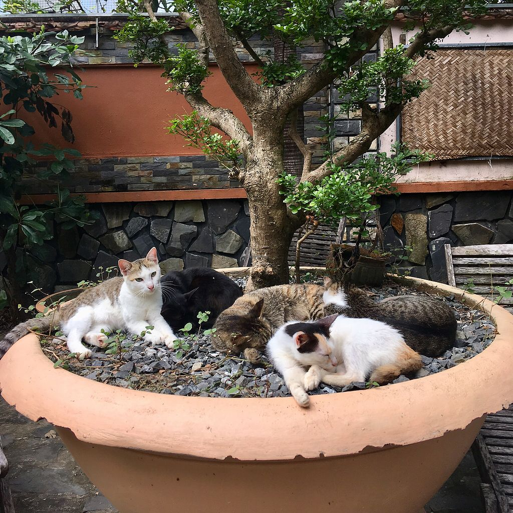 "Photo of Jack's Cat Cafe  by <a href=""/members/profile/BigVeegs"">BigVeegs</a> <br/>Kitties snoozing in the garden <br/> January 30, 2018  - <a href='/contact/abuse/image/72185/352682'>Report</a>"