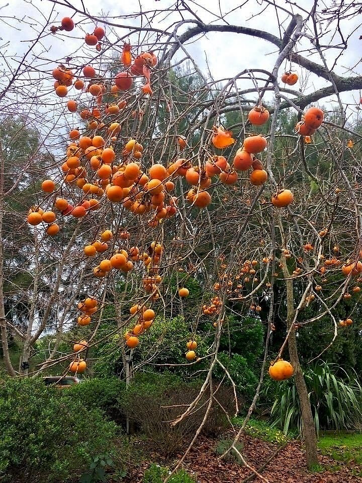 """Photo of Hungry Elephant  by <a href=""""/members/profile/Dharini"""">Dharini</a> <br/>stunning persimmon trees full of fruit in winter! <br/> July 1, 2017  - <a href='/contact/abuse/image/79543/275469'>Report</a>"""