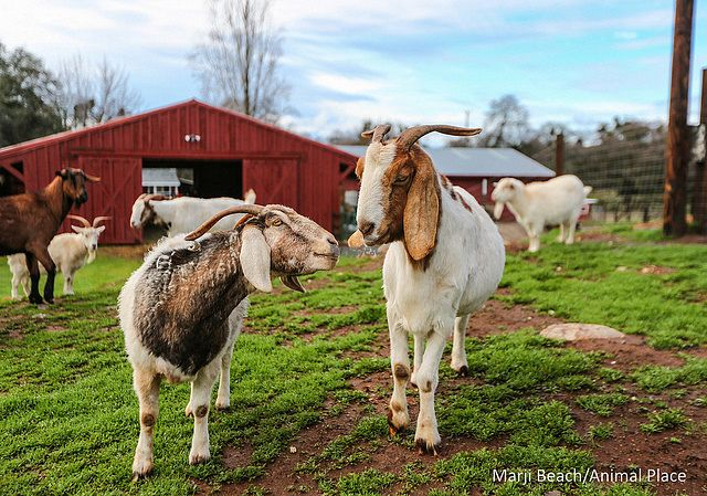 "Photo of Animal Place's Guesthouse  by <a href=""/members/profile/alexandra_vegan"">alexandra_vegan</a> <br/>Kid around with the goats <br/> October 12, 2016  - <a href='/contact/abuse/image/80377/181648'>Report</a>"