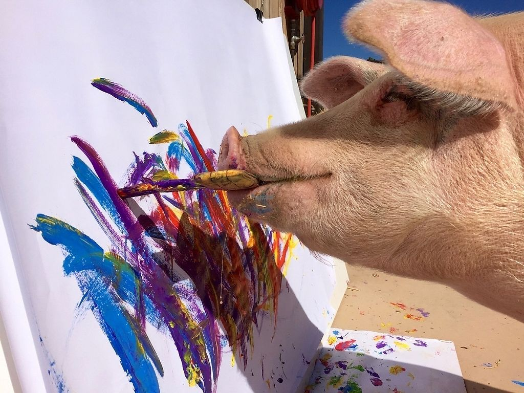 "Photo of Farm Sanctuary SA  by <a href=""/members/profile/FarmSanctuarySA"">FarmSanctuarySA</a> <br/>World renowned painting pig 'Pigcasso' in action at Farm Sanctuary SA <br/> January 31, 2017  - <a href='/contact/abuse/image/86253/219819'>Report</a>"
