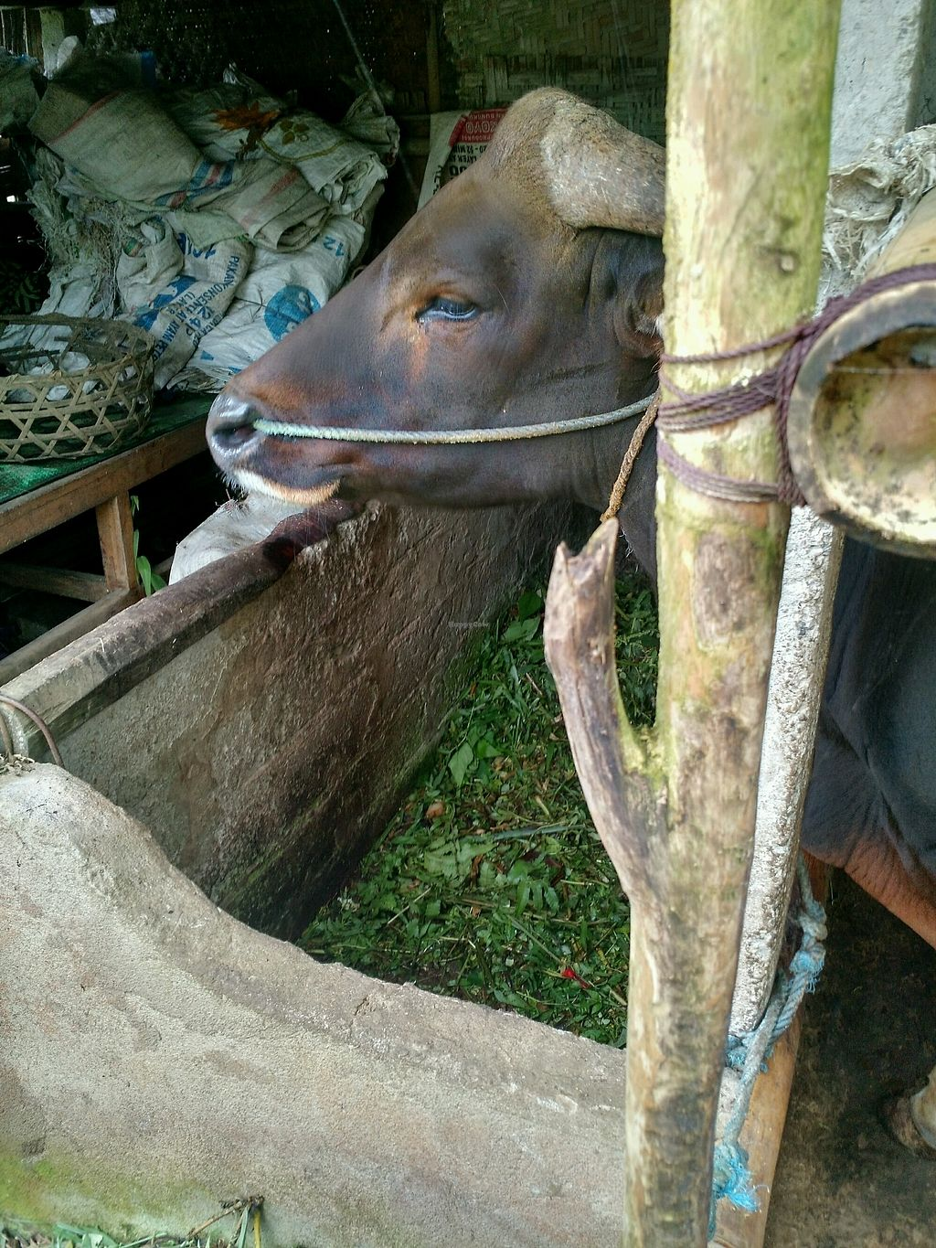 "Photo of The Organic Farm Bali  by <a href=""/members/profile/TiffEats"">TiffEats</a> <br/>Beautiful cow tied all day <br/> January 24, 2018  - <a href='/contact/abuse/image/89452/350384'>Report</a>"