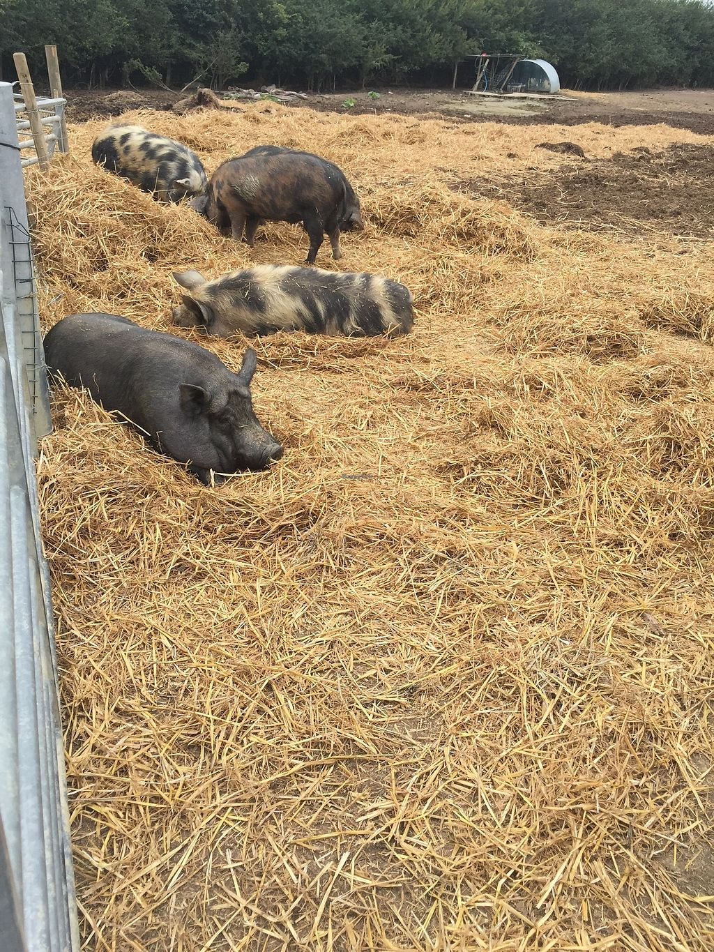 """Photo of The Retreat Animal Rescue Farm Sanctuary and Cafe  by <a href=""""/members/profile/TARAMCDONALD"""">TARAMCDONALD</a> <br/>Some happy pigs  <br/> July 22, 2017  - <a href='/contact/abuse/image/93600/283390'>Report</a>"""