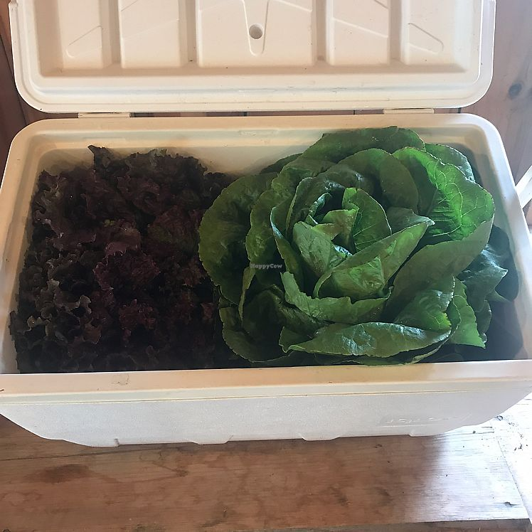 """Photo of Brown's Farm Stand  by <a href=""""/members/profile/Sarah%20P"""">Sarah P</a> <br/>gigando lettuce <br/> June 17, 2017  - <a href='/contact/abuse/image/94233/270181'>Report</a>"""