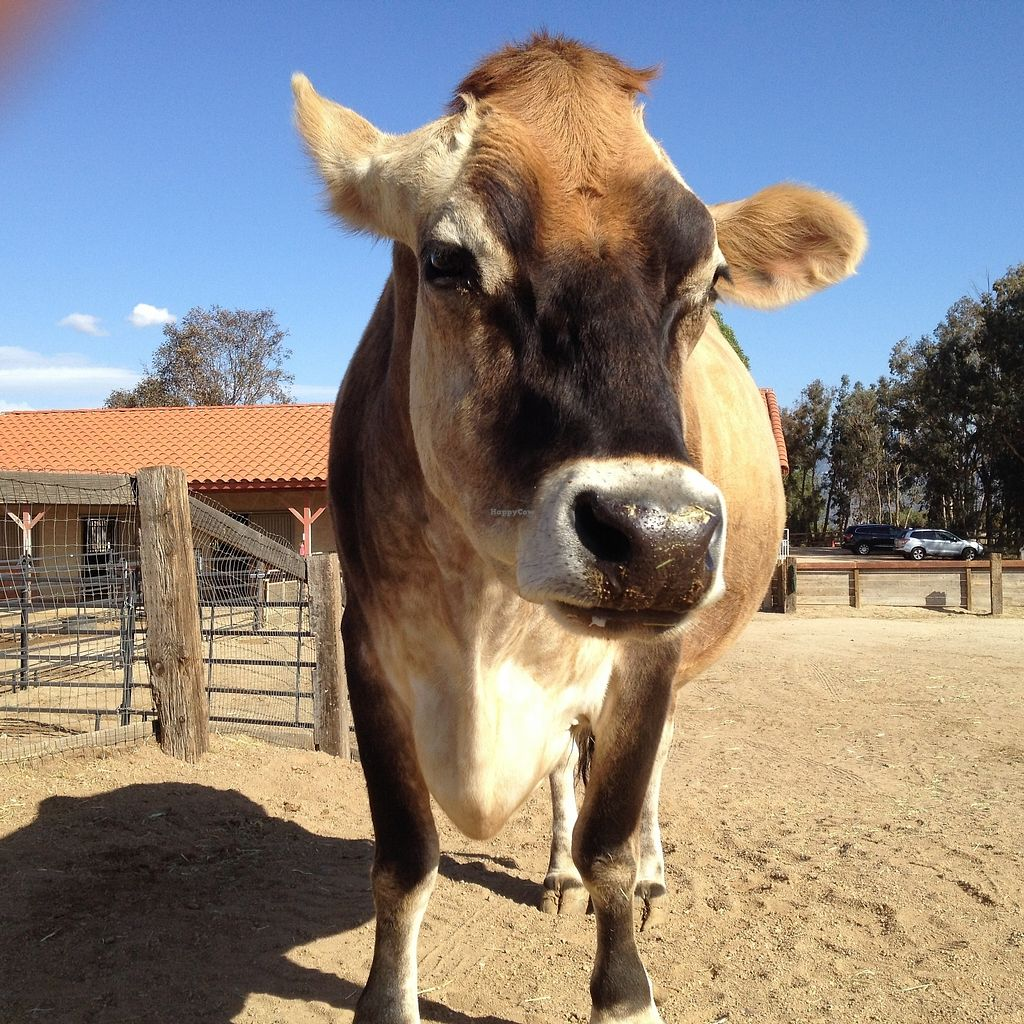 """Photo of Farm Sanctuary  by <a href=""""/members/profile/mep"""">mep</a> <br/>Paolo the steer on a tour day <br/> July 18, 2017  - <a href='/contact/abuse/image/96510/281921'>Report</a>"""