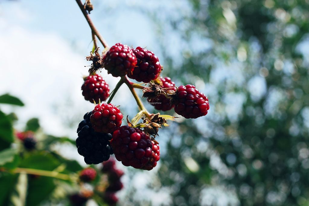 """Photo of Ruwam  by <a href=""""/members/profile/YukiLim"""">YukiLim</a> <br/>Fresh blackberries from the owner's garden <br/> August 7, 2017  - <a href='/contact/abuse/image/96731/290136'>Report</a>"""